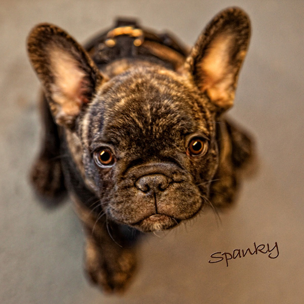 tammyportraitart_pet_portrait_spanky
